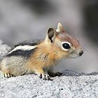 Cute Chipmunk by 319media