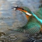 """"""" The Catch , Kingfisher In Flight """" by Richard Couchman"""