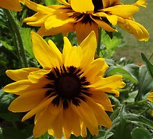 Sunflowers at Sudbury by TheShutterbugsG
