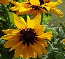 Sunflowers at Sudbury by TheShutterbugsG