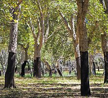 Cork Oaks of Canberra by TonyCrehan