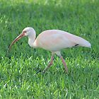 Ibis by Kay Reynolds