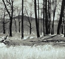 Fire Blackened Beech Trees  (duotone) by graphicscapes