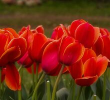 Red Tulips by Elaine Teague