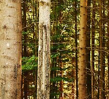 Pine Tree Trunks by jojobob