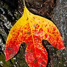 Single Autumn Sassafras Leaf by Kenneth Keifer