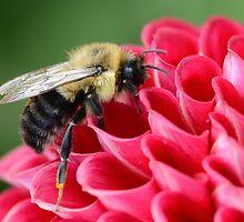 Bumblebee 1 by Sara Bawtinheimer