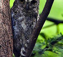 African Scops Owl Portrait by Oldetimemercan