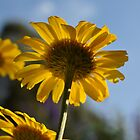 Anthemis tinctoria - Dyer's Chamomile by Julie Sherlock