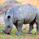 A Baby White Rhino by jozi1