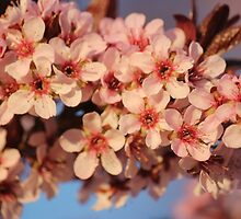 Crab apple  by Clickography