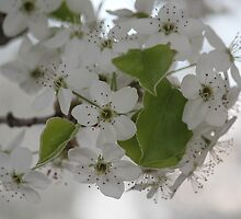 White blossoms by Clickography