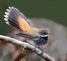 Rufous Fantail taken at the Border Ranges by Alwyn Simple