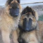 Belgian Tervueren pair by Belgian Shepherd Dog Club of QLD Inc