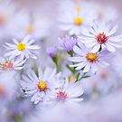 Autumn Asters by Jacky Parker