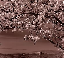cherry blossoms (horizontal) by jackson photografix