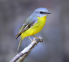 Eastern Yellow Robin taken at Dorrigo NP by Alwyn Simple