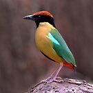 Noisy Pitta taken at Dorrigo National Park by Alwyn Simple