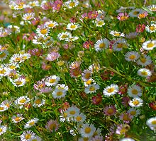 Dozens of Daisies by Alison Hill