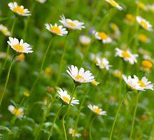 Chrysanthemum Series 1 by Alison Hill
