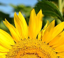 Sunflower by Steve St.Amand