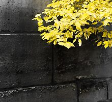 Yellow leaves on an ancient brick wall in Paris by Olivier Sohn