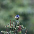 Perched on a pine tree by missmoneypenny