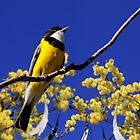 Golden Whistler (male) by mosaicavenues