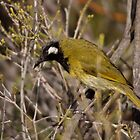 White-eared Honeyeater 7 by mosaicavenues