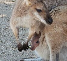 Red-necked Wallaby Joey by Margaret Saheed