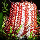 Beautiful Banksia - The colours of Christmas by EdsMum