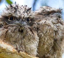 Sibling Frogmouth by byronbackyard