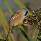 Bearded tit - I by Peter Wiggerman