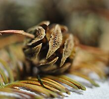 Dawn Redwood Cone by Viana Santoni-Oliver