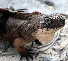 Rock Iguana by lilysteele