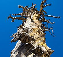 Skeletal Tree with Blue Sky by studiojanney