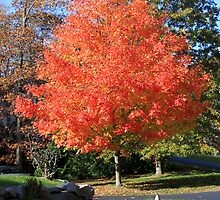 Showstopper ~ A Maple in Fall Glory by SummerJade