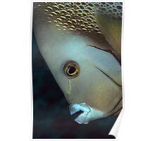 gray angelfish Poster