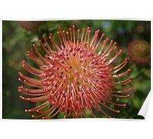 Leucospermum red ribbon Poster