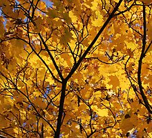 Yellow Maple 3 by marybedy