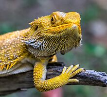 Yellow Central Bearded Dragon by WantedImages