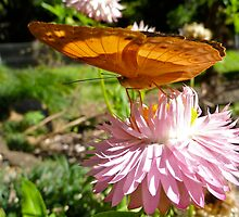 Feeding on paper daisy by NaturalCultural