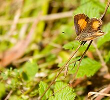 Bright Copper Butterfly by NaturalCultural