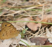 Common Brown Butterfly by NaturalCultural