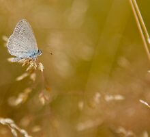 Common Grass Blue Butterfly by NaturalCultural