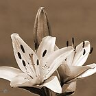 Asiatic Lily named Rosella's Dream by JMcCombie