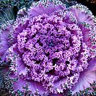 Decorative Fancy Purple Kale by MotherNature
