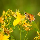 Beautiful Skipper Butterfly by Thomas Young