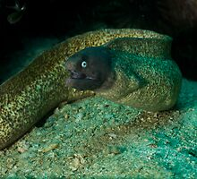 White eyed moray Mouth opened by Kenji Ashman