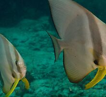 Wide angle of Batfish by Kenji Ashman